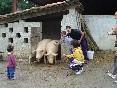 Salida de los cerdos