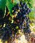 Bodega-campillo-uva