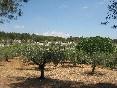 Los olivos en La Giralda