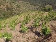 Vinya ecològica de coster