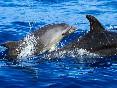 Delfines mulares (2)