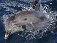 Delfines mulares (6)