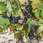 Bodega-hesvera-uva