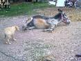 Cabras, burros y perros foto 2