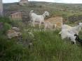 Cabras, burros y perros foto 5