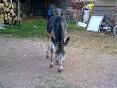 Cabras, burros y perros foto 6