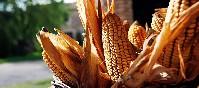 Permanyer y La Cabanya del Permanyer maíz