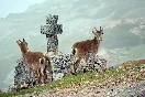 Cabras montesas de la Peña de Francia.