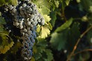 bodegas-camino-alto-uva