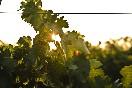 bodegas-camino-alto-campo-de-viñedos