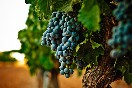 bodegas-camino-alto-uvas