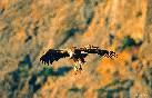 Buitre leonado volando al atardecer (copiar)