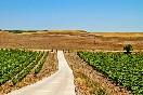 Campo de viñedos