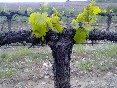 los viñedos foto 3