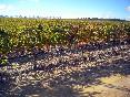 los viñedos foto 5
