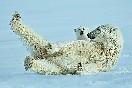 Oso Polar (Svalbard)