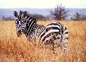 Cebra en Kenia