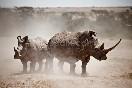 Rinocerontes  en Kenia