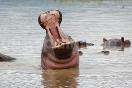 Hipopotamo en Kenia