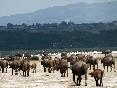 Búfalos en la Sabana