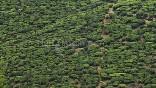 Plantación de Té. Sri Lanka
