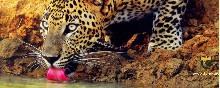 Leopardo. Sri Lanka