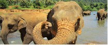 Elefante. Sri Lanka