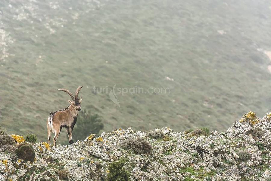 Cabra montesa en el Parque Natural de Els Ports