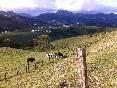 26Las vacas pastando