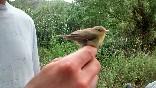Anillamiento aves (3)
