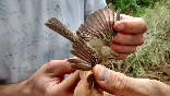 Anillamiento aves (4)