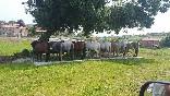 Caballos descansando