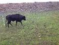 Entre toros y caballos (11)