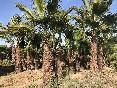 Area-los-alcazares-palmeras